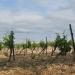 Près d'Arboras, les vignes
